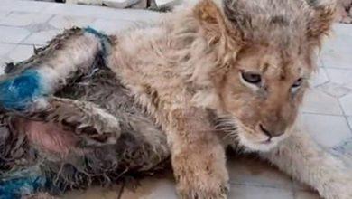 Photo of La conmovedora historia de Simba: el cachorro de león rescatado tras vivir con las patas rotas